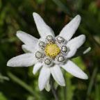 Edelweiss17